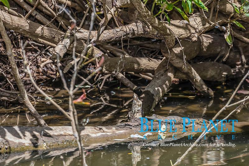 Young wild freshwater crocodile, Crocodylus johnsoni or Crocodylus johnstoni, Ord River, Kimberley, Western Australia, Australia