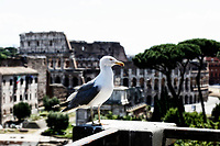 A seagull and in the background the Colosseum<br /> Roma June 1st 2020. Italy Coronavirus phase 2. Reopening of the Imperial Fora.<br /> Photo Samantha Zucchi Insidefoto