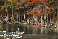 Great Blue Heron (Ardea herodias), adult in river lined with Bald Cypress (Taxodium distichum), Guadalupe River, Gruene, Hill Country, Central Texas, USA