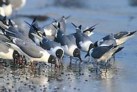 Laughing Gulls, eating horseshoe crab eggs, Kimble's Beach, New Jersey
