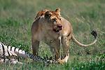 Lion feeds on a zebra carcass in Tanzania.