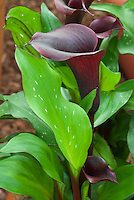Calla lily Zantedeschia 'Edge of Night' with spotted leaves with red edge and dark black flowers