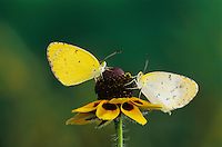 Little Yellow, Eurema lisa, male and female on Clasping-leaved Coneflower(Dracopis amplexicaulis) , Willacy County, Rio Grande Valley, Texas, USA, May 2004