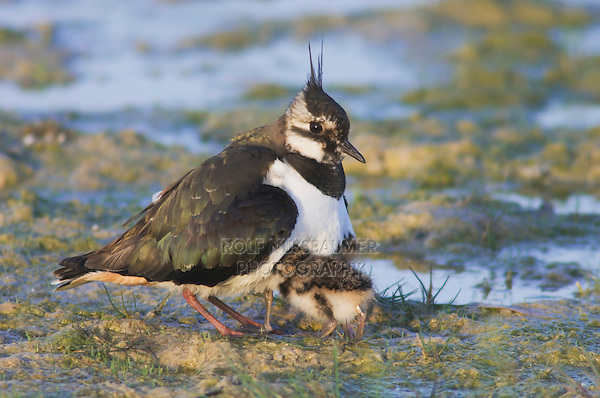 Northern Lapwing, Vanellus vanellus, adult with young, National Park Lake Neusiedl, Burgenland, Austria, April 2007