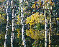 Morning light on Birches on Chapel Pond; Dix Mountain Wilderness; Adirondack and Preserve, NY