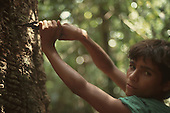 Acre, Brazil. Boy rubber tapper cutting the bark of a rubber tree to make the rubber sap run using a traditional took.