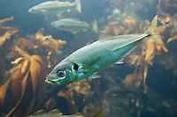 Stöcker, Bastardmakrele, Holzmakrele, Suri, Trachurus trachurus, Atlantic horse mackerel, European horse mackerel, horse mackerel, common scad, scad, saurel, chinchard
