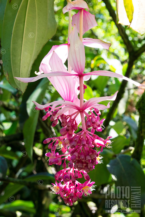 A beautiful bright pink flower known as rose grape (Medinilla magnifica) along the boardwalk at Hawaii Tropical Botanical Gardens, Big Island of Hawaii'i.