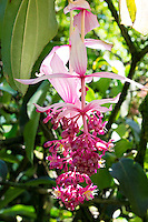 A beautiful bright pink flower known as rose grape (Medinilla magnifica) along the boardwalk at Hawaii Tropical Botanical Gardens, Big Island of Hawaii'i.