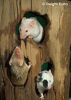 MU60-071z  Pet mouse - exploring