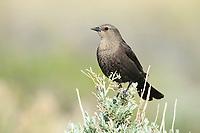 Female Brewer's Blackbird (Euphagus cyanocephalus). Sublette County, Wyoming. May.