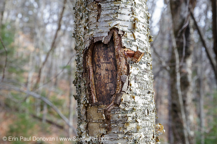 November 2014 - A tree wound on a yellow birch tree along the Mt Tecumseh Trail in New Hampshire. Proper trail blaze removal protocol was not used when a painted trail marker (blaze) was removed from this tree, and this is the ending result. The blaze was painted on the tree in 2011, and then improperly removed from the tree in the spring of 2012. The bark, where the blaze was, was cut and peeled away creating a tree wound. See how it looked before it was removed: http://bit.ly/1Q4W1Pj