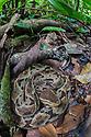 Fer-de-lance {Bothrops asper} camouflaged on the rainforest floor. Corcovado National Park, Osa Peninsula, Costa Rica, May.