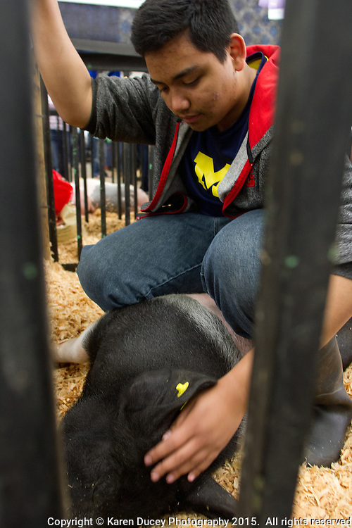 """FFA student Michael Soule, 16, from White River High School soothes his pig, Wilbur prior to showing him at the auction. He got Wilbur six months ago when he was around 30-40 pounds. Soule built him a pen and spent about an hour a day with him. He lives with his mother their farm raising goats, chickens, rabbits, and alpacas. Wilbur is his first pig. """"Its kind of sad."""" says Soule who plans to participate in FFA again next year. He figures Wilbur will fetch around $250 at the livestock auction. <br /> Students in the FFA and 4H programs participate in the auction of livestock including steers, lambs and hogs in the Northwest Junior Livestock Show at the Washington State Spring Fair in Puyallup, Wash. on April 19, 2015.  (photo © Karen Ducey Photography)"""