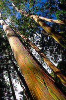 Rainbow eucalyptus trees, Ke'anae Arboretum on the road to Hana, Maui