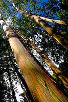 Rainbow eucalyptus trees, Ke'anae Arboretum on the road to Hana, Maui