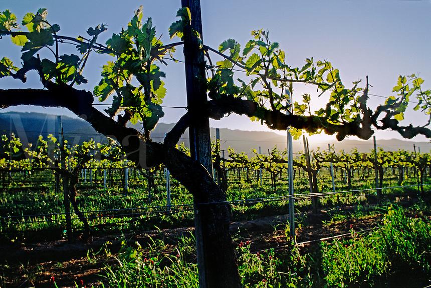 First growth of wine grape vines - SALINAS VALLEY, CALIFORNIA