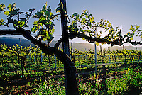 First growth of wine grape vines - SALINAS VALLEY, CALIFORNIA