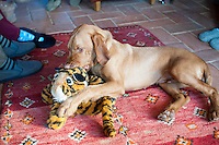 Hungarian Wire haired Viszla puppy, 5 months old, playing with his favourite toy tiger.  Breeder: www.Falcongreengundogs.eu