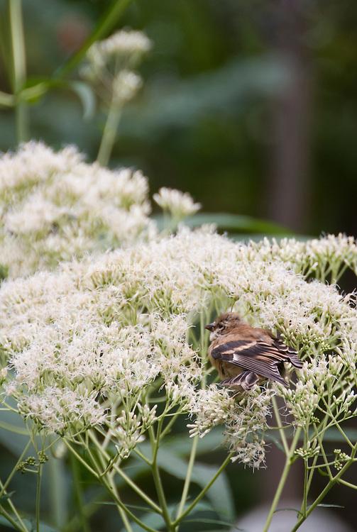 Goldfinch juvenile bird eating Eupatorium purpureum 'Joe White' seeds in garden plant