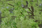 Fringe tree, Chionanthus virginicus, has a beautiful feathery flower.