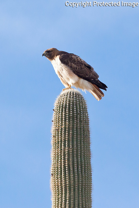 Red-Tailed Hawk, Arizona, USA