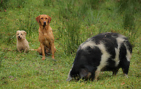 FAO JANET TOMLINSON, DAILY MAIL PICTURE DESK<br />Pictured: A couple of dogs with the farm's pig Wednesday 23 November 2016<br />Re: The Dog House in the village of Talog, Carmarthenshire, Wales, UK