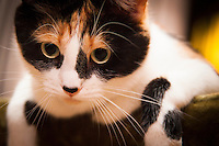 Cali, the calico cat, peers and poses.