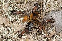 Waldameisen transportieren tote Wildbiene, Biene, Beute, Waldameise, Rote Waldameise, Formica spec., (F. rufa oder F. polyctena), wood ant, Wood Ants, Formica sensu stricto
