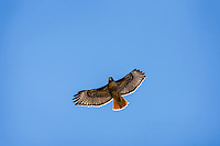 Red-tailed Hawk (Buteo jamaicensis) soaring.  Western U.S., June.
