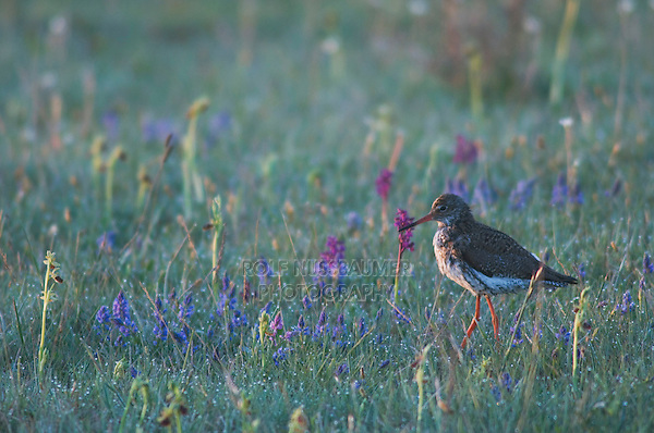 Common Redshank, Tringa totanus, adult with flowers,National Park Lake Neusiedl, Burgenland, Austria, April 2007