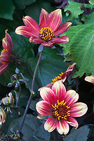 Dahlia Happy Red Tip, red and white yellow