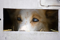 Rick Casillos dogs waiting in their boxes prior to start of 2006 Iditarod Race *Wyatt*(t) *Sukie*(b)
