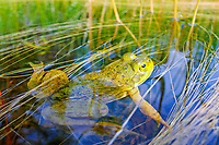 bronze frog, Lithobates clamitans, wide angle closeup, swimming