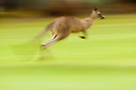 Eastern Grey Kangaroo (Macropus giganteus) hopping, Jervis Bay, New South Wales, Australia