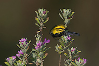 Black-throated Green Warbler, Dendroica virens, male on texas sage, Port Aransas, Texas, USA
