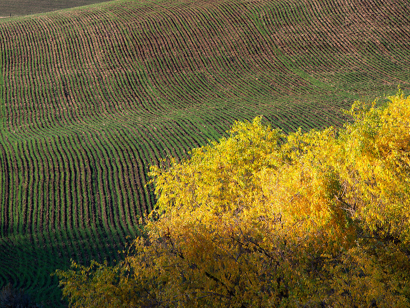 Fall colored willow tree. Near the Columbia River Gorge, Oregon