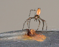 Spiderling using the air to disperse. It sends out a strand of silk, and floats away with the breeze.
