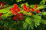6066-CA Giant Poinciana or Flame Tree, Delonix regia, flowers, foliage, at Tel Aviv, Israel