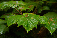 Leaves of devil's club. Location: Quinault Rain Forest Trail, Olympic National Forest, Washington, US