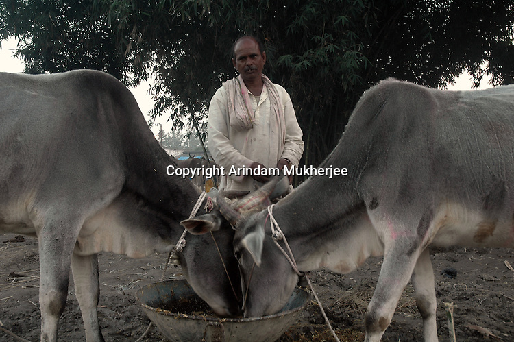 A cattle owner feeds his cattles at Sonepur fair ground. Bihar, India, Arindam Mukherjee