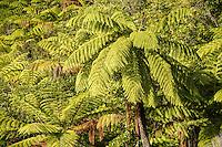 Mamaku, black tree fern, Cyathea medullaris, largest NZ fern, Nelson Region, Marlborough, South Island, New Zealand