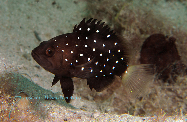 juvenile snowy grouper, Epinephelus niveatus.