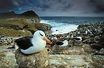 Black-browed albatross (Diomedea melanophris), Falkland Islands<br /> Canon EOS-3<br /> Canon EF 17-35mm lens<br /> December 1998