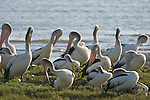 Cairns, Queensland, Australia; Australian Pelican (Pelecanus corspicillatus) birds on the grass at the edge of the tidal mud flats , © Matthew Meier, matthewmeierphoto.com All Rights Reserved