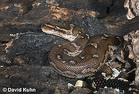 0420-1103  Anchieta's Dwarf Python (Anthony Python), African Python, Python anchietae  © David Kuhn/Dwight Kuhn Photography