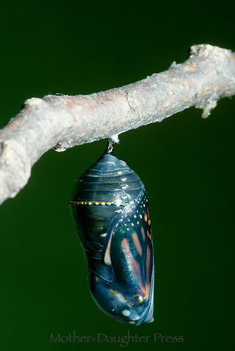 Monarch butterfly, Danaus Plexippus, about to emerge from cocoon