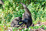 Two Sulawesi or Celebes crested macaques or Sulawesi or Celebes black macaques (Macaca nigra)(known locally as yaki or wolai) social grooming. Tangkoko National Park, Sulawesi, Indonesia.