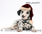 Xavier, CHRISTMAS ANIMALS, photos, SPCHDOGS849,#XA#