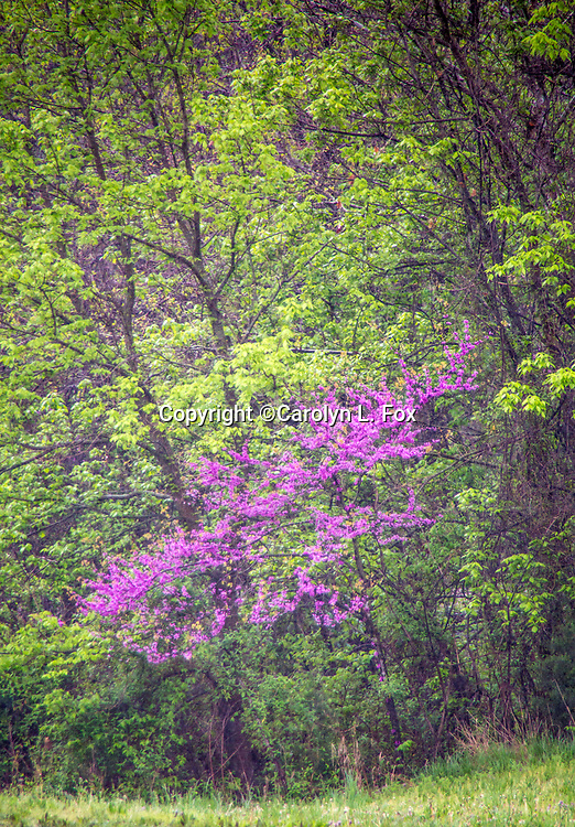 Red bud trees bloom in the spring.